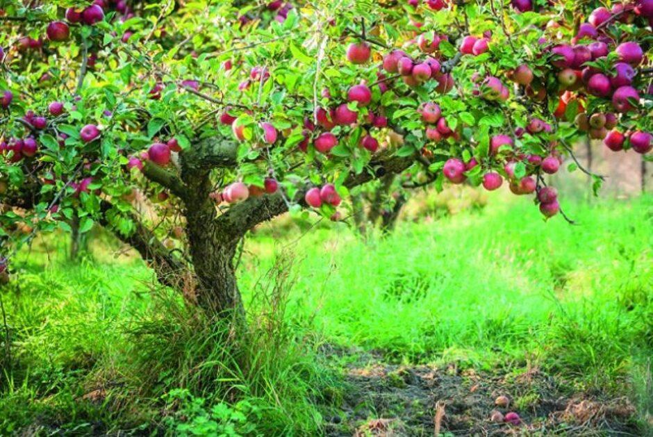 Gewinnspiel: Wir verlosen drei Apfelbäume!